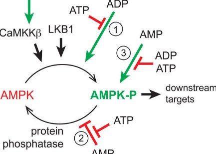 AMPK Metabolic Activator Boosters and Diminishers
